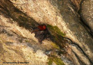 Rupicola peruvianus