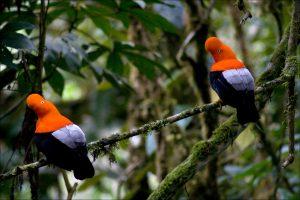 Rupicola peruvianus fotos
