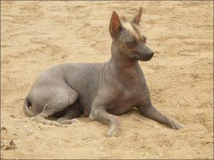 perr peruano