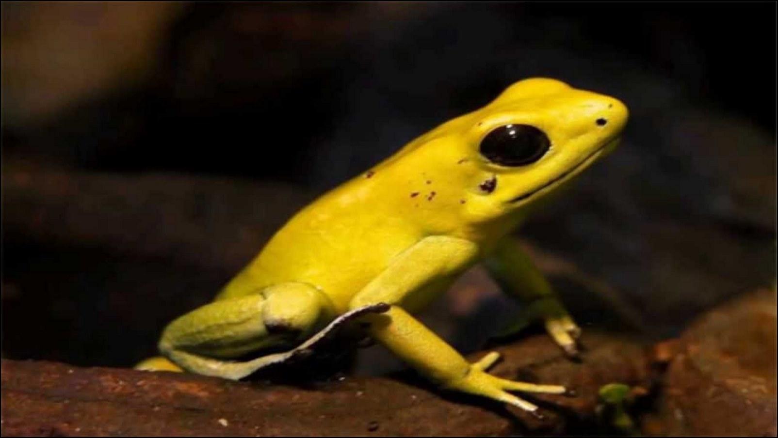 imagen de rana punta de flecha