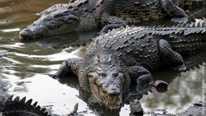 El cocodrilo americano, animales del peru en peligro de extincion