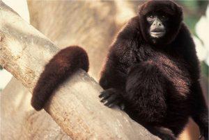 Mono choro animal del peru en peligro de extincion