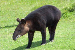 Tapir o Pinchaque animales peruano en peligro de extincion