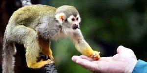 mono ardilla peruano