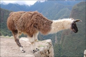 alpaca de la sierra peruana