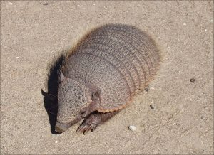 armadillo gigante animal exotico