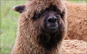 caracteristicas de la alpaca