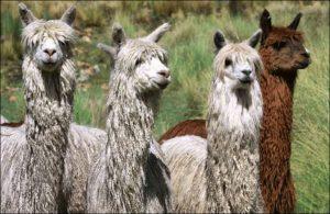 fotos de alpacas