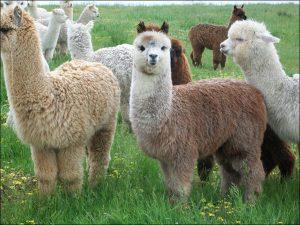 razas dela alpaca
