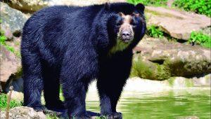 El oso Andino