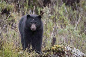 oso andino de peru