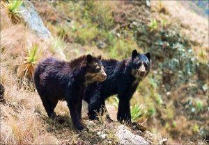 oso andino