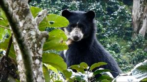 oso andino peruano