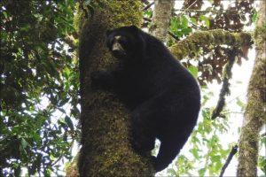 osos_andino_peruano